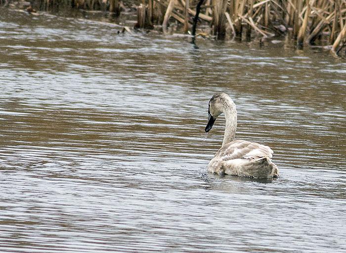 160221 mute swan juv 2 Tophill Low