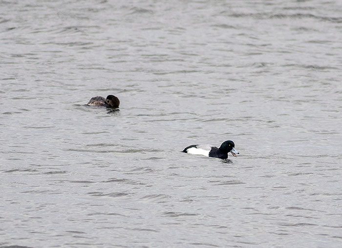 160221 scaup m (foreground) & f Tophill Low