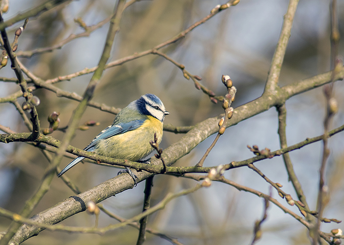 160315 blue tit Pennington Flash