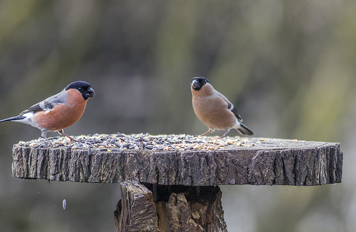 160315 bullfinch m&f Pennington Flash