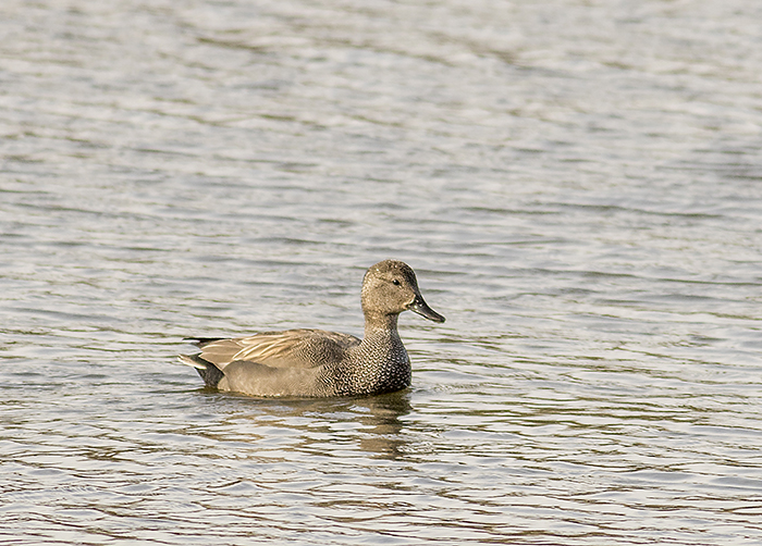 160315 gadwall m Pennington Flash