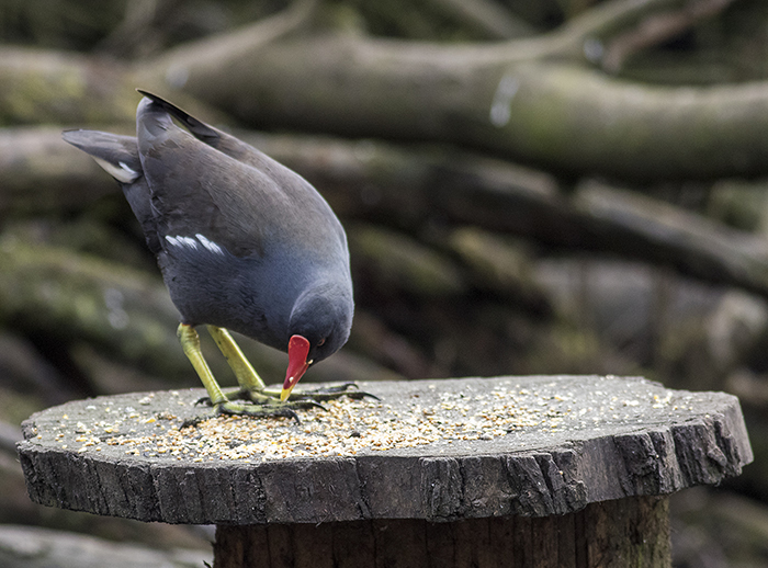 160315 moorhen on bird table Pennington Flash