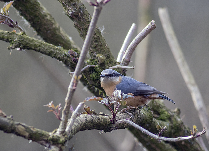 160315 nuthatch Pennington Flash