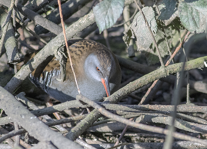 160315 water rail 3 Pennington Flash