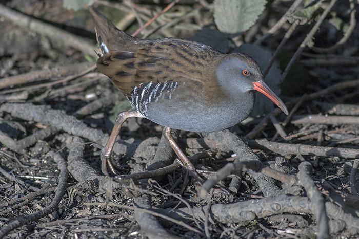 160315 water rail Pennington Flash